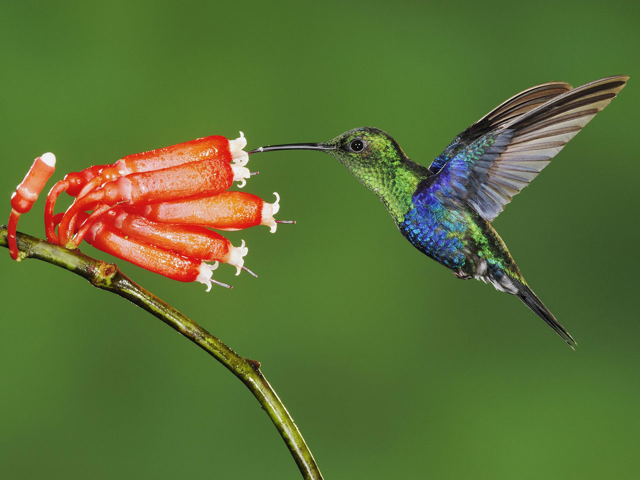 beautiful-hummingbird-wallpaper